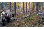 Эмигрируют даже медведи